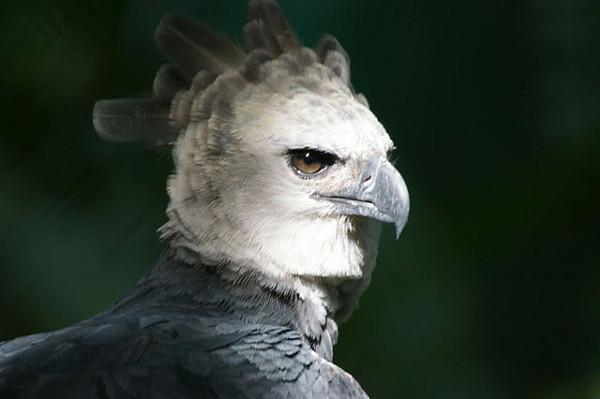 Harpie aigle oiseaux les plus meurtriers