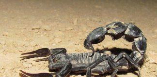 scorpions les plus dangereux