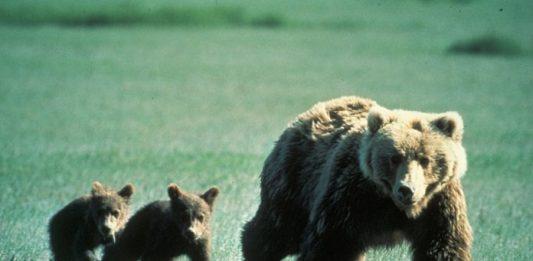 Animaux qui mangent leur bébé