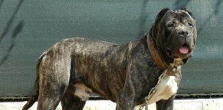 10 races de chiens les plus dangereuses du monde