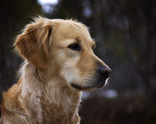 chiens les plus intelligents