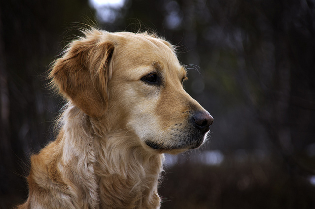 chiens les plus intelligentes
